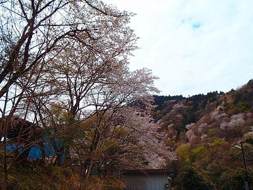 土地-京都市左京区八瀬秋元町 現地からの眺望1(2019年4月撮影)住戸からお花見ができます