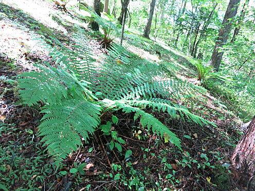 土地-北佐久郡軽井沢町大字長倉 シダ植物も多く自生しております。別荘らしさが溢れる環境です。
