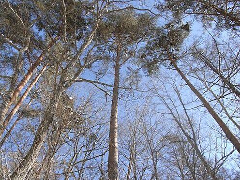 土地-北佐久郡軽井沢町大字長倉 大きな松が何本が生えております。