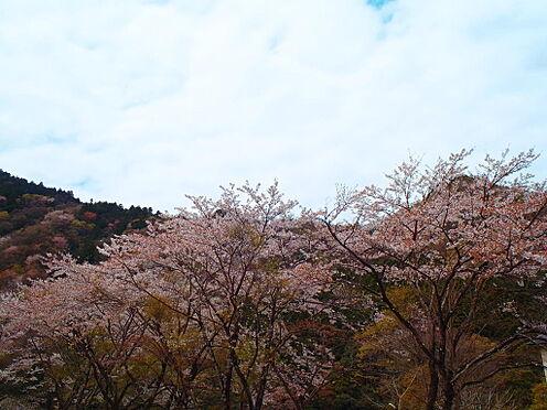 土地-京都市左京区八瀬秋元町 現地からの眺望3(2019年4月撮影)山桜を望む